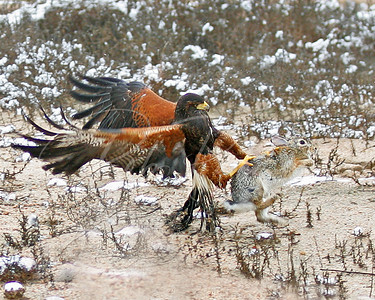 Harris's Hawk and rabbit