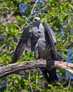 Mississippi Kites mating