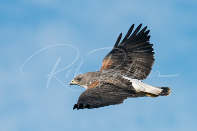 Adult White Tailed Hawk