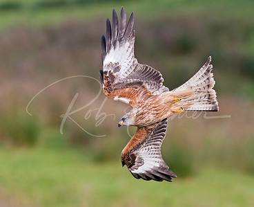 Red Kite in a dive.  Wales, UK