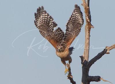Why they are called Red Shouldered Hawks  1822