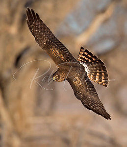 Adult Female Northern Harrier banking