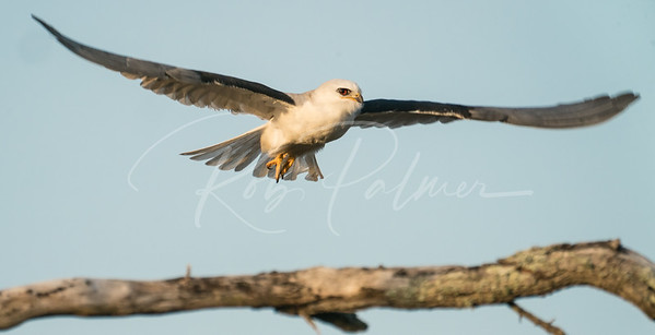White-tailed Kite taking off