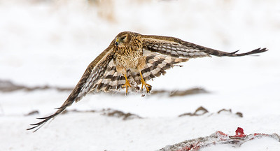 Northern Harrier leaving a kill