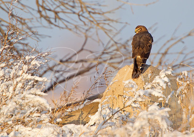 Last light Northern Harrier
