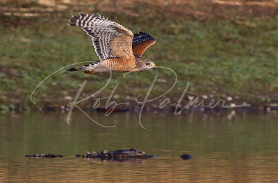 Red Shouldered Hawk and a gator.
