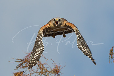 Red Shouldered Hawk screaming at its mate.
