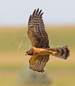 An Immature Northern Harrier