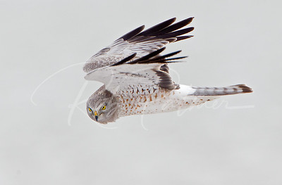 "Male Northern Harrier ""The Grey Ghost"""