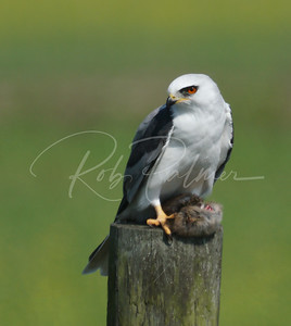 White-tailed kite with a vole