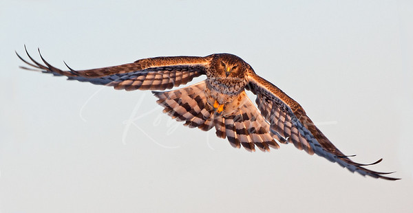 Northern Harrier incoming