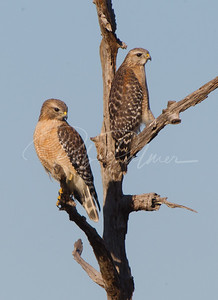 A Pair of Red Shouldered Hawks  1817