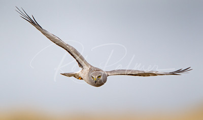 Adult Male Northern Harrier Incoming
