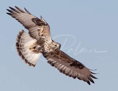 Rough Legged Hawk taking a look.