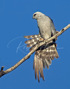 Mississippi Kite Wing Stretch