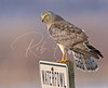 Adult male northern harrier