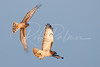 Harrier chasing a redtail