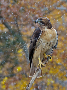 Redtailed Hawk in late fall snow shower.