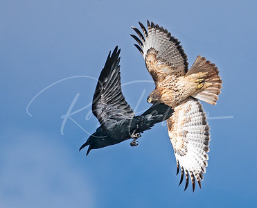 Redtailed Hawk and raven