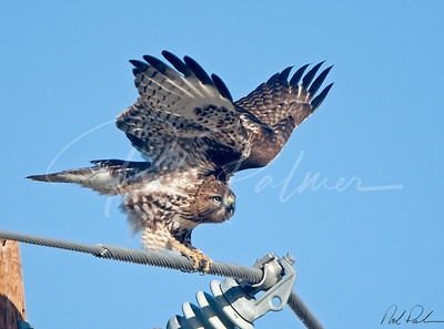 Immature Redtail Stretching