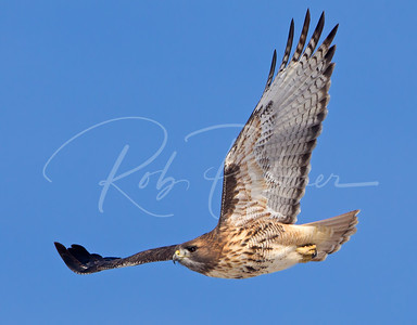 Adult Red Tailed Hawk