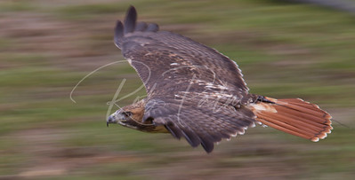 Red Tailed Hawk on the move