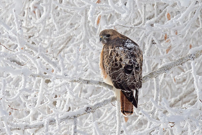 Redtail in the frost