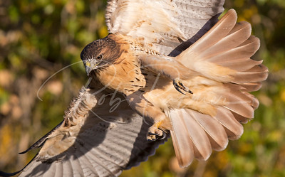 Redtailed Hawk focus