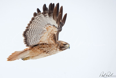 Red Tail in flight 64479