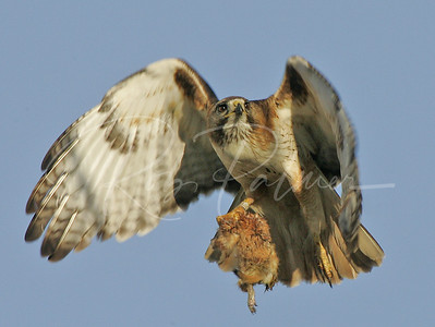 Red Tailed Hawk with a Prairie Dog