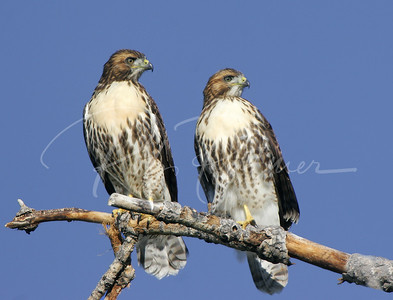 A Pair of young Red Tailed Hawks