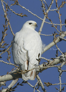 Albino Red Tailed Hawk