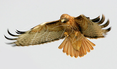 Hovering Red Tailed Hawk