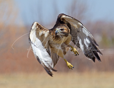 Red Tailed Hawk Intensity