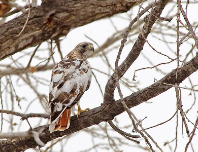 A Partial Albino Red Tailed Hawk living in NE Colorado.  Strange looking bird! 1875