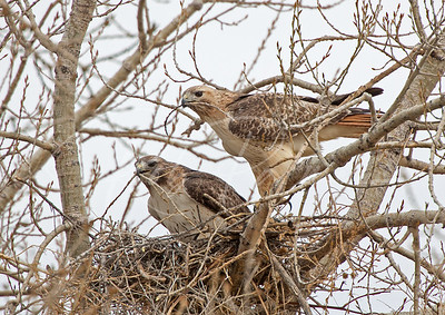 A pair of Redtails with nesting material