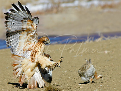 Redtail and cottontail