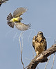 Swainson's Hawk being mobbed by a Western Kingbird