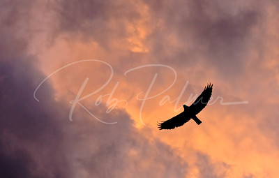 Swainson's Hawk and clouds