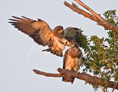 Swainson's Hawks just before mating