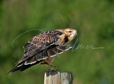 Swainson's Hawk Stretching