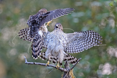 Cooper's Hawks playing