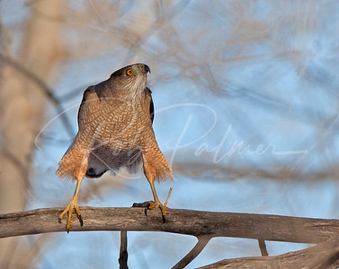 Female Cooper's hawk waiting for its mate.