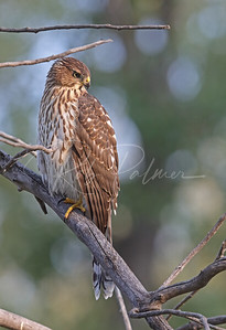 Cooper's Hawk in repose