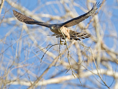 Female Cooper's Hawk bringing branch to nest tree.
