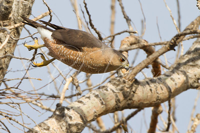 Female Cooper's Hawk diving out of tree.