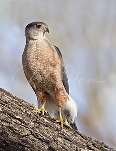 A beautiful adult male Cooper's Hawk