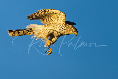 Immature Cooper's Hawk launching from a perch
