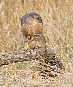 Cooper's Hawk and a Mallard Duck.  Not really sure why the duck chose to be so close to one of it's predators.
