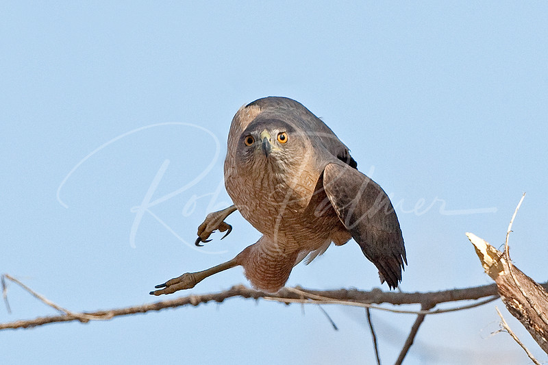 "Cooper's Hawk, ""Just getting started"""